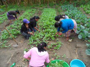Mujeres de Cienaga grande, Santa Lucía Utatlán, cosechando rábanos