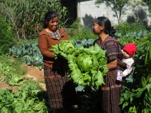 Mujeres de Chaquijyá y San Isidro, Sololá cosechando lechugas